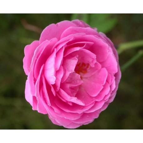 Rosa 'Adam Messerich' - Rosaceae - Rosier