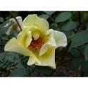 Rosa 'Aicha' - Rosaceae - Rosier