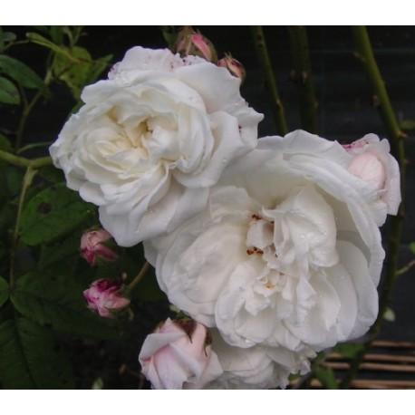 Rosa 'Aimée Vibert' - Rosaceae - Rosier grimpant