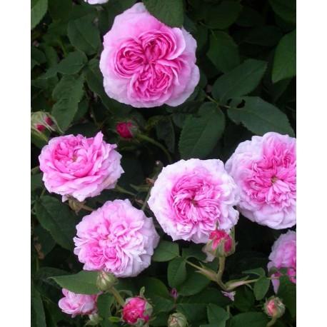 Rosa 'Aimable Amie' - Rosaceae - Rosier