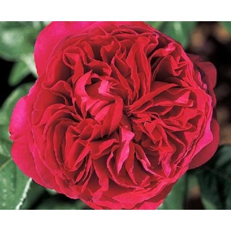 Rosa 'Alain Souchon' - Rosaceae - Rosier nain