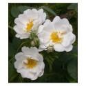 Rosa 'Alba semi plena' - Rosaceae - Rosier