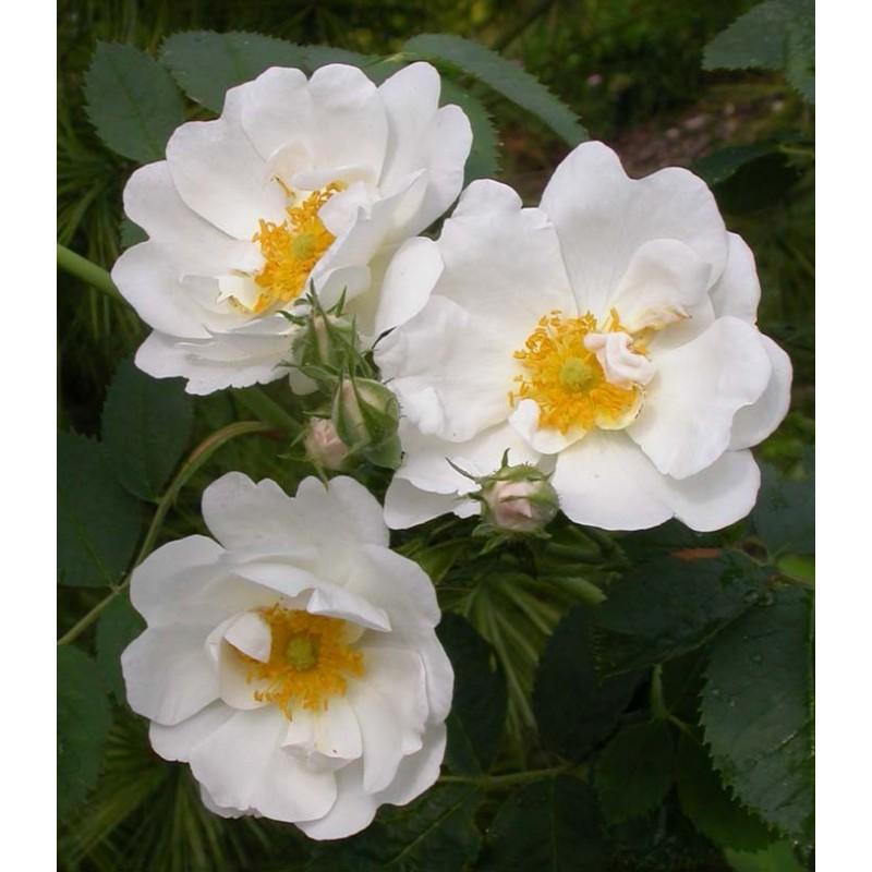 Rosa alba semi plena rosier - Quand planter un rosier ...