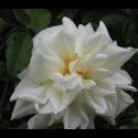 Rosa 'Alberic Barbier' - Rosaceae - Rosier