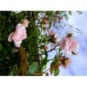 Rosa 'Albertine' - Rosaceae - Rosier grimpant