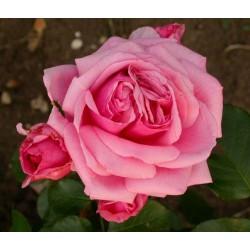 Rosa 'Aloha' - Rosaceae - Rosier grimpant
