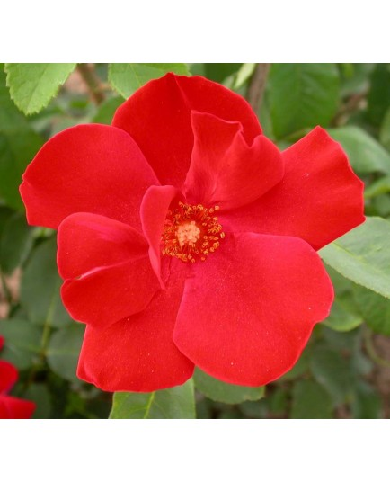 Rosa 'Altissimo' - Rosaceae - Rosier