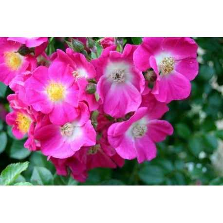 Rosa 'American Pillar' - Rosaceae - Rosier liane