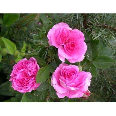 Rosa 'Anais Segalas' - Rosaceae - Rosier