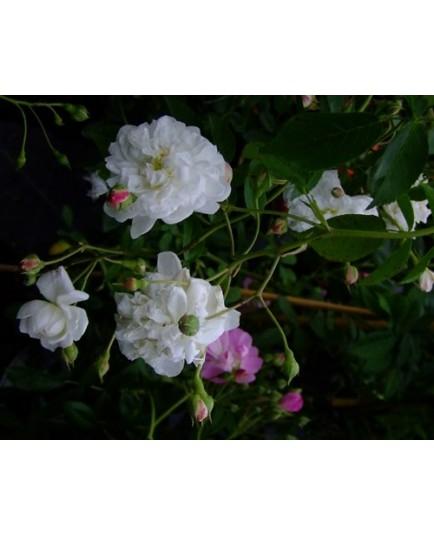 Rosa 'Anatole de Montesquieu' - Rosaceae - Rosier