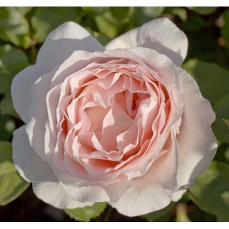 Rosa 'André Le Nôtre®' - Rosaceae - Rosier