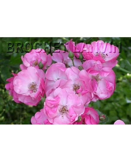 Rosa 'Angela(R)' - Rosaceae - Rosier