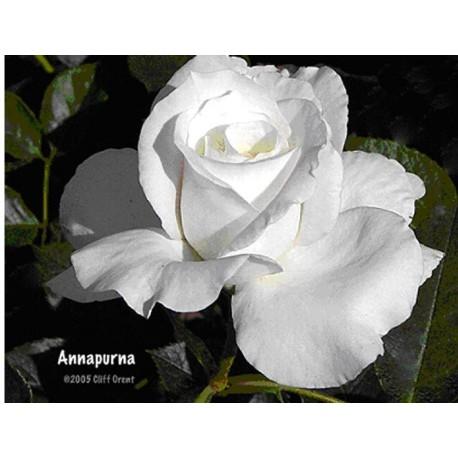 Rosa 'Annapurna' - Rosaceae - Rosier
