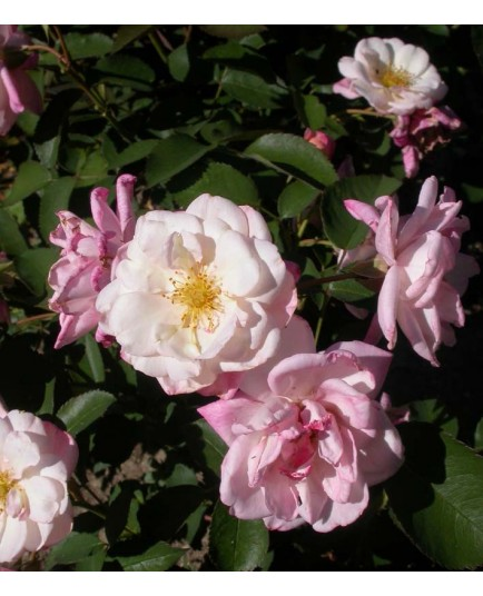 Rosa 'Apricot Bells' - Rosaceae - rosier