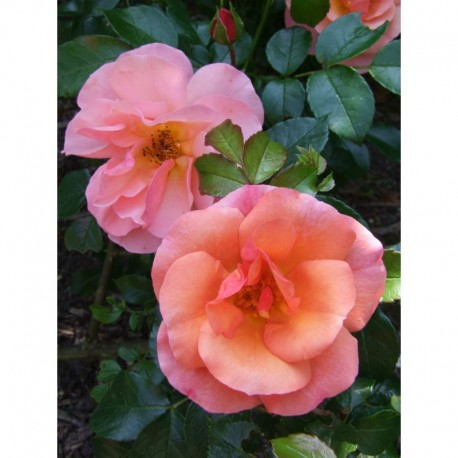 Rosa 'Aprikola' - Rosaceae - Rosier