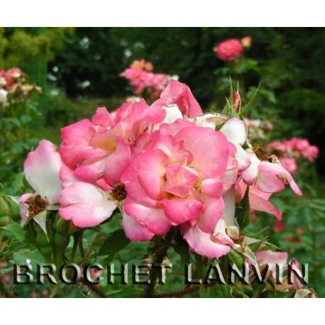 Rosa 'Arabella' - Rosaceae - rosier
