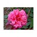 Rosa 'Archiduc Joseph' - Rosaceae - Rosier