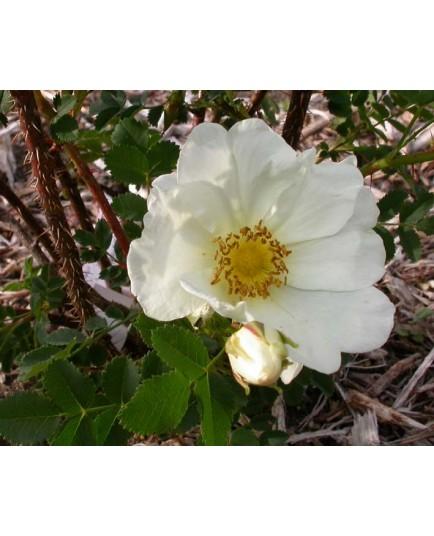 Rosa 'Aristide' - Rosaceae - Rosier