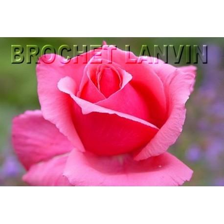 Rosa 'Astrée' - Rosaceae - Rosier nain à bouquet