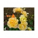 Rosa 'Autumn Sunset' - Rosaceae - rosier
