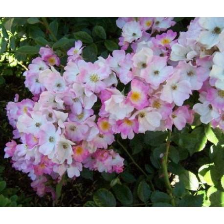 Rosa 'Ballerina' - Rosaceae - Rosier