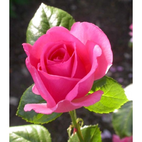 Rosa 'Bantry Bay' - Rosaceae - Rosier grimpant