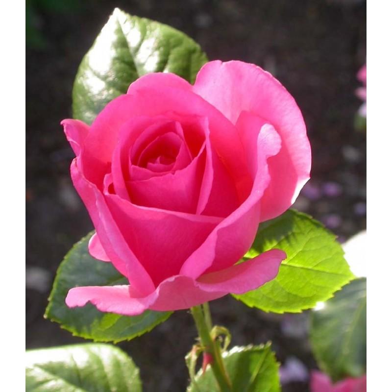 Rosa bantry bay rosier grimpant - Quand planter un rosier ...