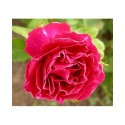Rosa 'Baron Girod de l'Ain' - Rosaceae - Rosier