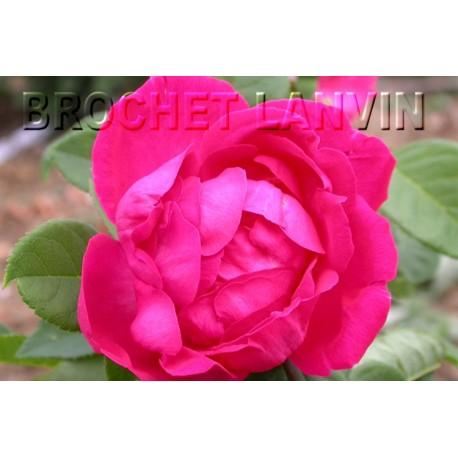 Rosa 'Baron Gonella' - Rosaceae - Rosier