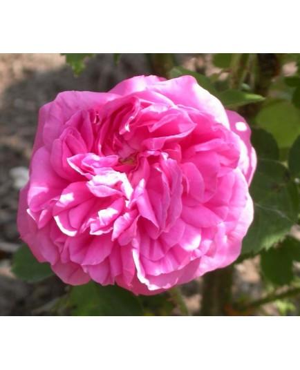 Rosa 'Baronne Prevost' - Rosaceae - Rosier