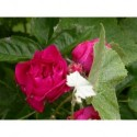 Rosa 'Beauté des prairies' - Rosaceae - Rosier