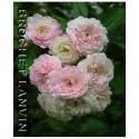 Rosa 'Beauté Orléanaise' - Rosaceae - Rosier