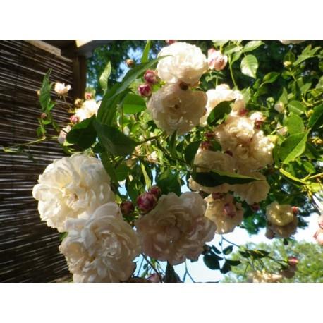 Rosa 'Belle de Baltimore' - Rosaceae - rosier