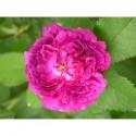 Rosa 'Belle de Crécy' - Rosaceae - Rosier