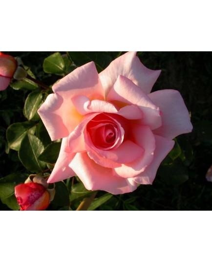Rosa 'Belle de Londres' - Rosaceae - Rosier grimpant