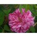 Rosa 'Belle des Jardins' - Rosaceae - Rosier