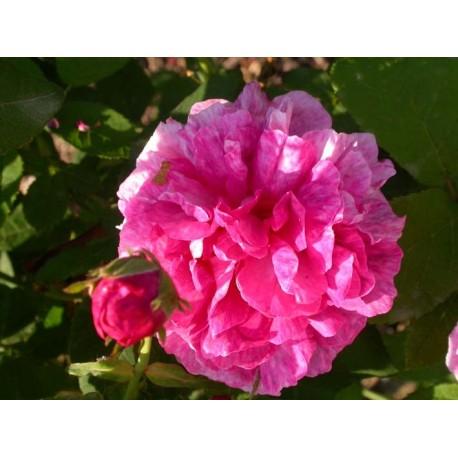 Rosa 'Belle Hélène' - Rosaceae - Rosier