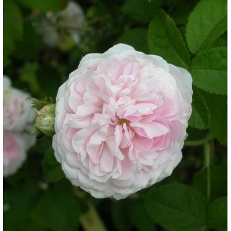 Rosa 'Belle Isis' - Rosaceae - Rosier