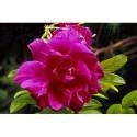 Rosa 'Belle Poitevine' - Rosaceae - Rosier