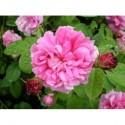 Rosa 'Belle sans Flatterie' - Rosaceae - Rosier