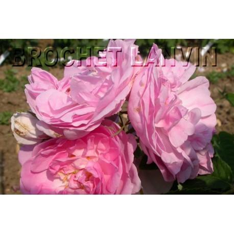 Rosa 'Bernard' - Rosaceae - Rosier