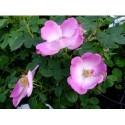 Rosa 'Beth' - Rosaceae - Rosier
