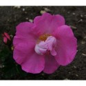 Rosa 'Bizarre' - Rosaceae - rosier