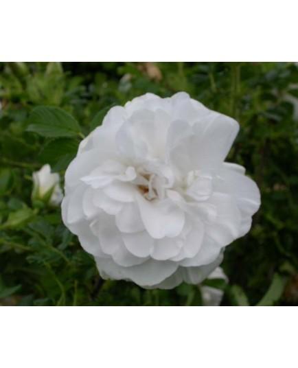 Rosa 'Blanc Double de Coubert' - Rosaceae - Rosier