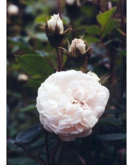 Rosa 'Blanche Moreau' - Rosaceae - Rosier