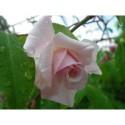 Rosa 'Bloomfield Abundance' - Rosaceae - rosier ancien, rosier arbuste