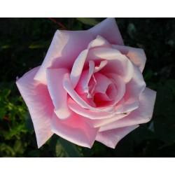 Rosa 'Blossom Time' - Rosaceae - Rosier