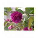 Rosa 'Blue Magenta' - Rosaceae - rosier