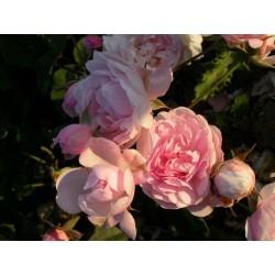 Rosa 'Blush Noisette' - Rosaceae - Rosier