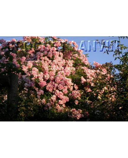Rosa 'Blush Rambler' - Rosaceae - Rosier
